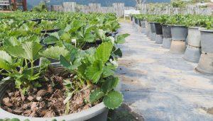 Как вырастить ягоды