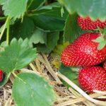 Как добиться больших урожаев клубники