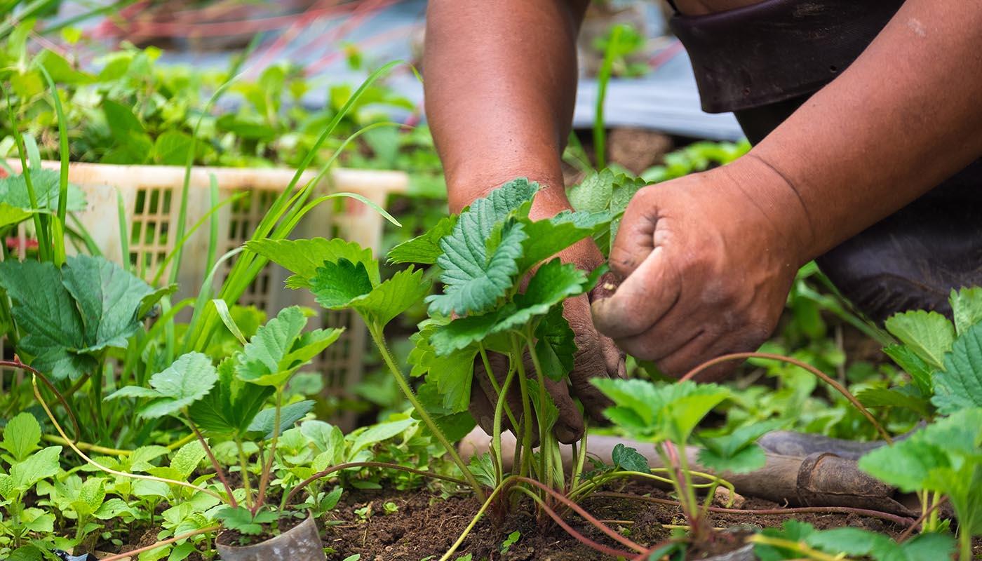 Чем обработать клубнику от вредителей способы лечения болезней