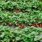 Фото грядок клубники для сада и большого огорода