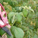 Фото правильной обрезки кустов малины
