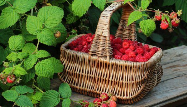 Фото спасения ягоды малины от вредителей