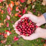Фото клюквы садовой, ее уход и выращивание
