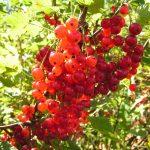 Фото красной смородины, ее высокоурожайные сорта