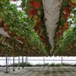 Выбор этажерки для правильного выращивания клубники