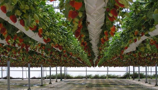 Выбираем этажерки для правильного выращивания клубники