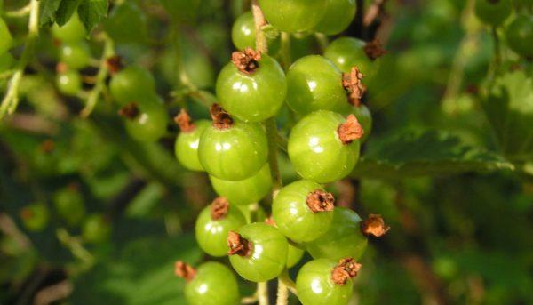Фото зеленоплодной смородины, ее уход и размножение