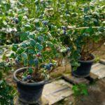 Фото выращивания голубики американской