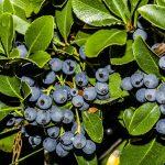 Фото голубики болотной и ее описание