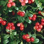 Красивое фото ягод брусники в hd качестве