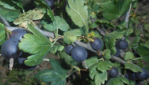 Фото ягоды ешта, ее выращивание и уход