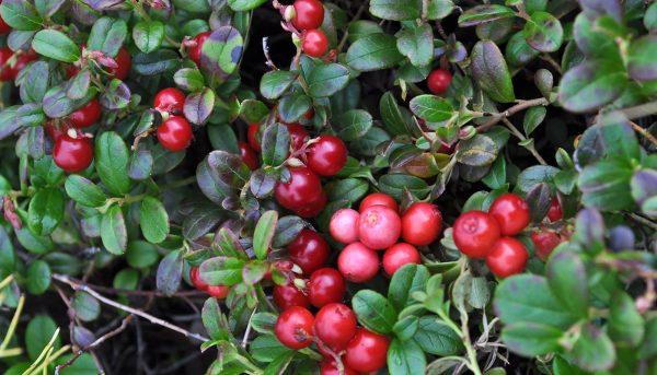 Фото сортов садовой брусники