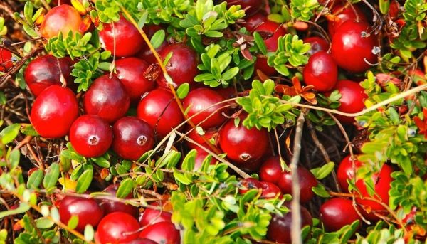 Фото выращивания клюквы
