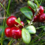 Фото садовой клюквы