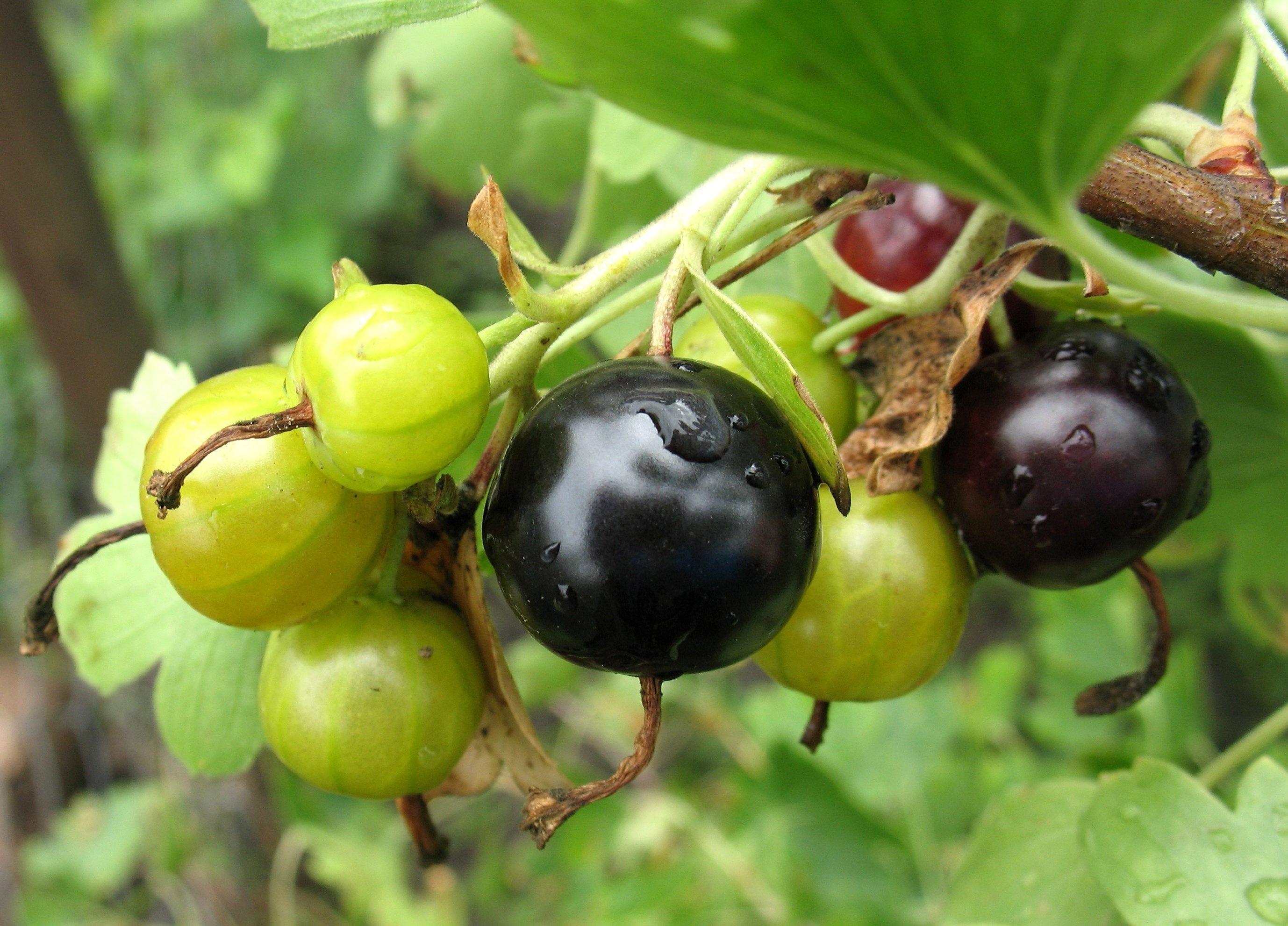 Особенности выращивания йошты | | Дачный сайт семьи Яблочкиных | 1982x2756