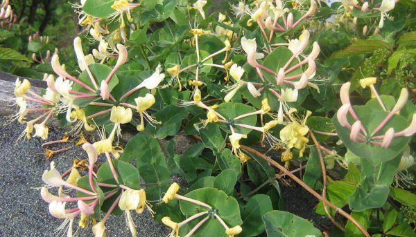 Фото черенкования саженцев жимолости