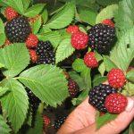 Фото ягод ежемалины