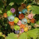 Фото разноцветной смородины высокорослой