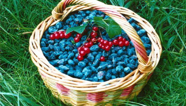 Фото урожая жимолости в корзинке